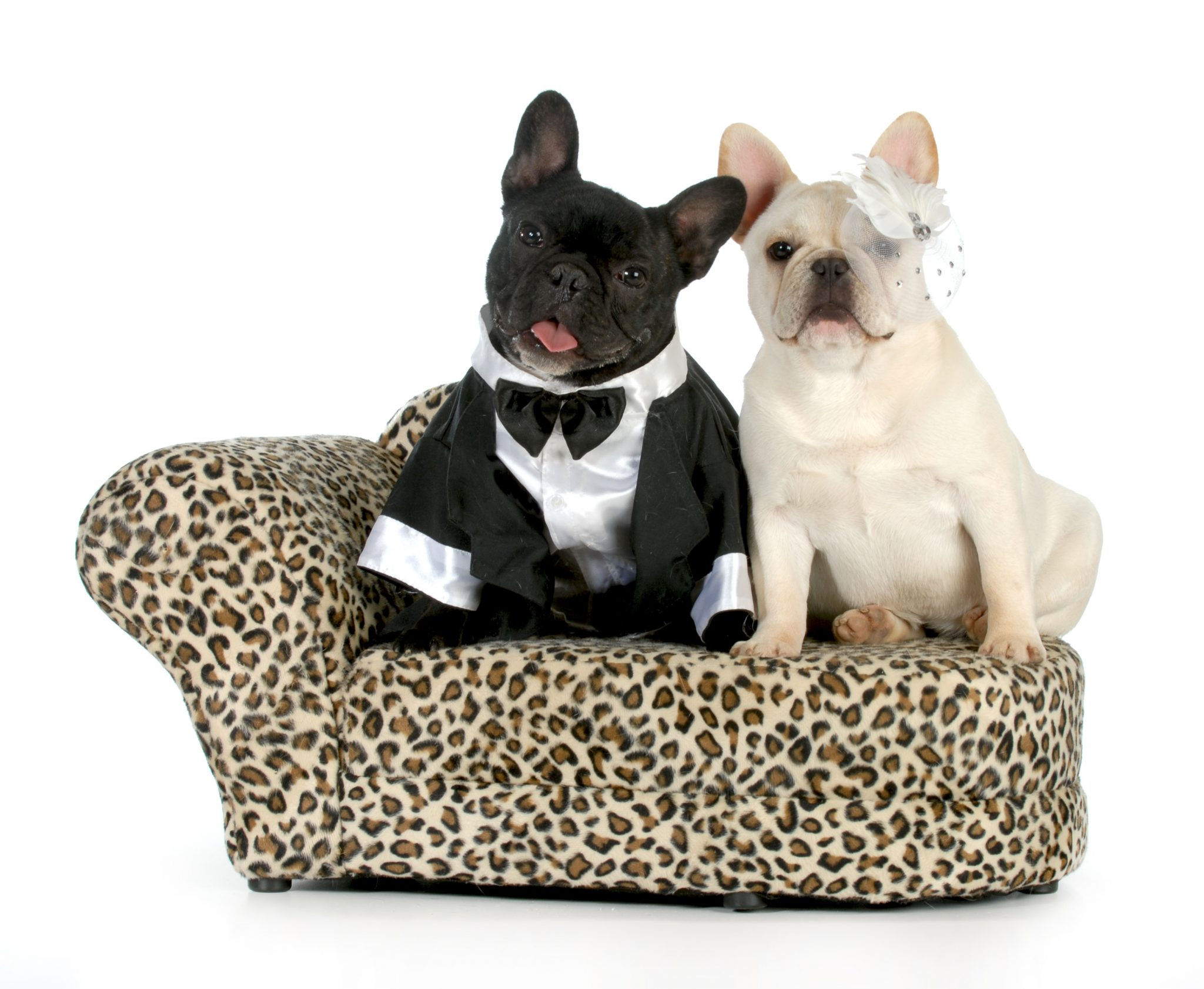 French Bulldogs dressed as a bride and groom.