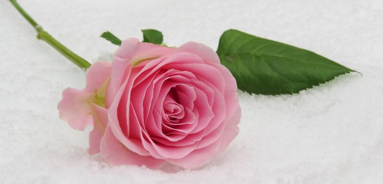 Pink rose on snow.