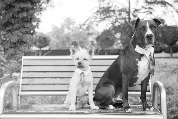 Two dogs on a bench wearing ties.
