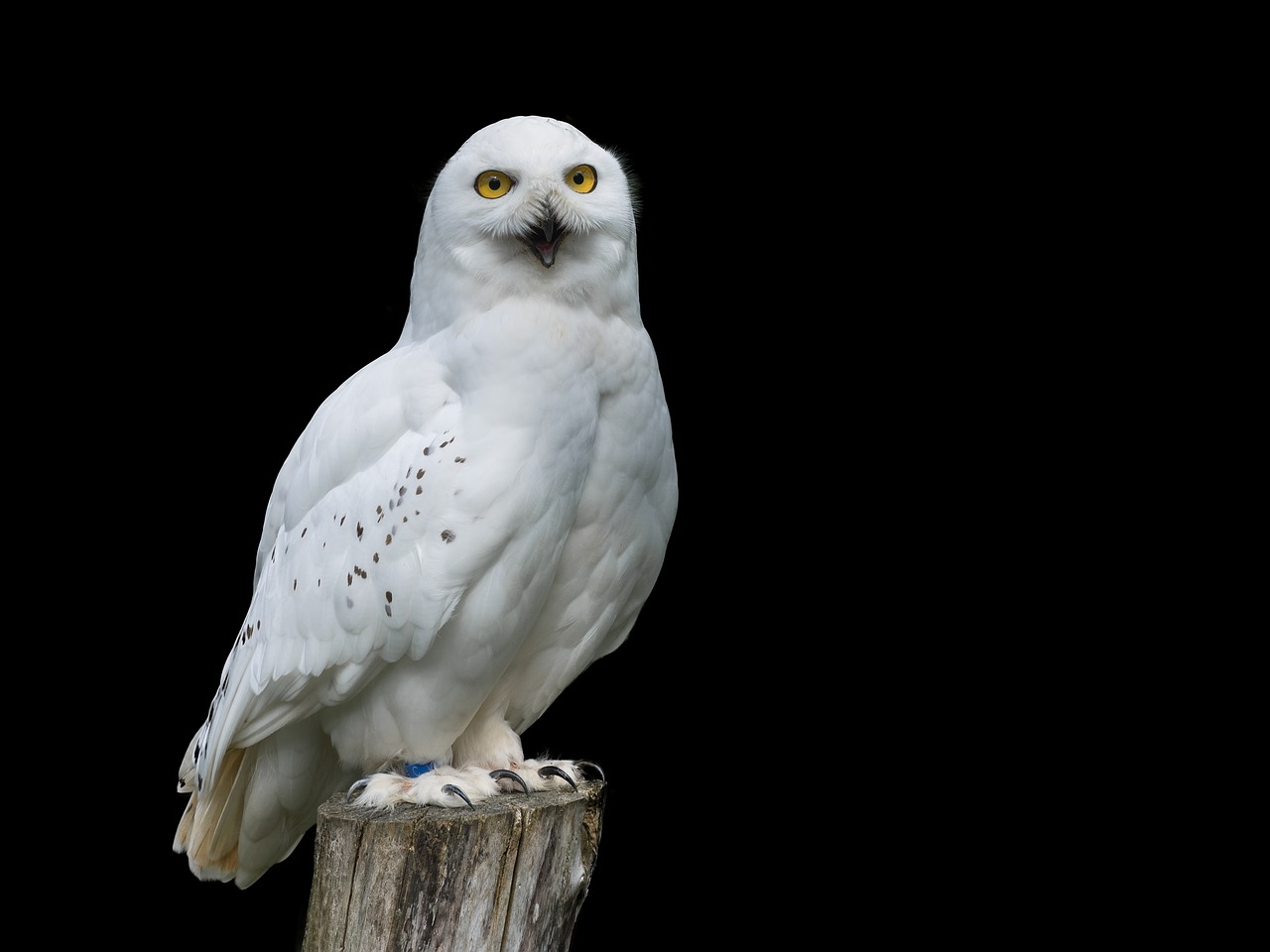 White owl standing on a perch.