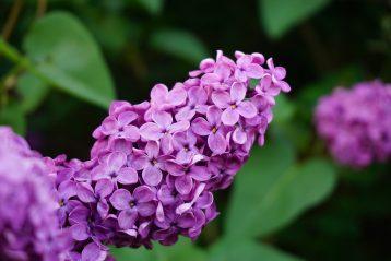 A lilac flower.