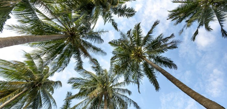 A view looking up at palm trees and a blue sky.