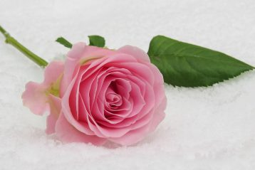 A pink rose lying in the snow.