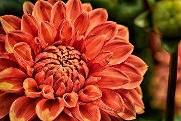 A peach colored Dahlia.