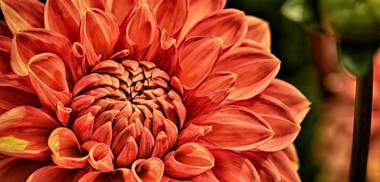 A peach colored Dahlia.