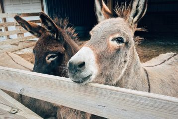 Two donkeys.
