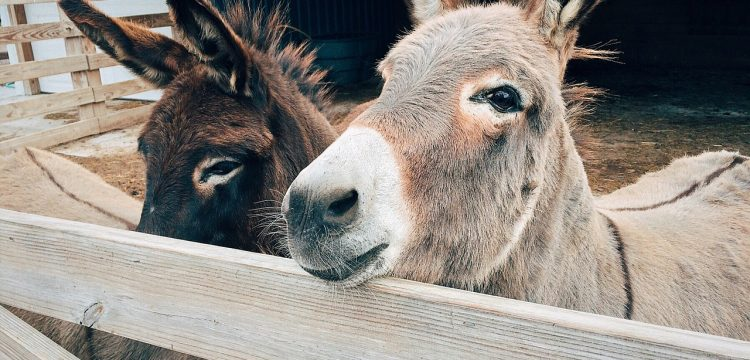 Two donkeys.