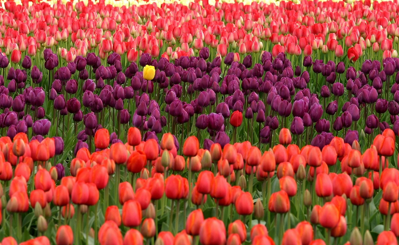 A field of orange and purple tulips with one yellow one in the middle.