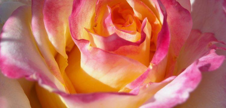 Close up of a pink and yellow tea rose.