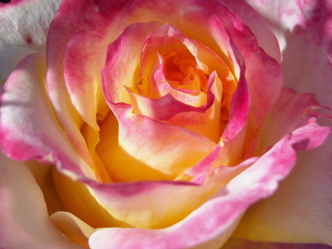 Close up of a pink and yellow tea rose.