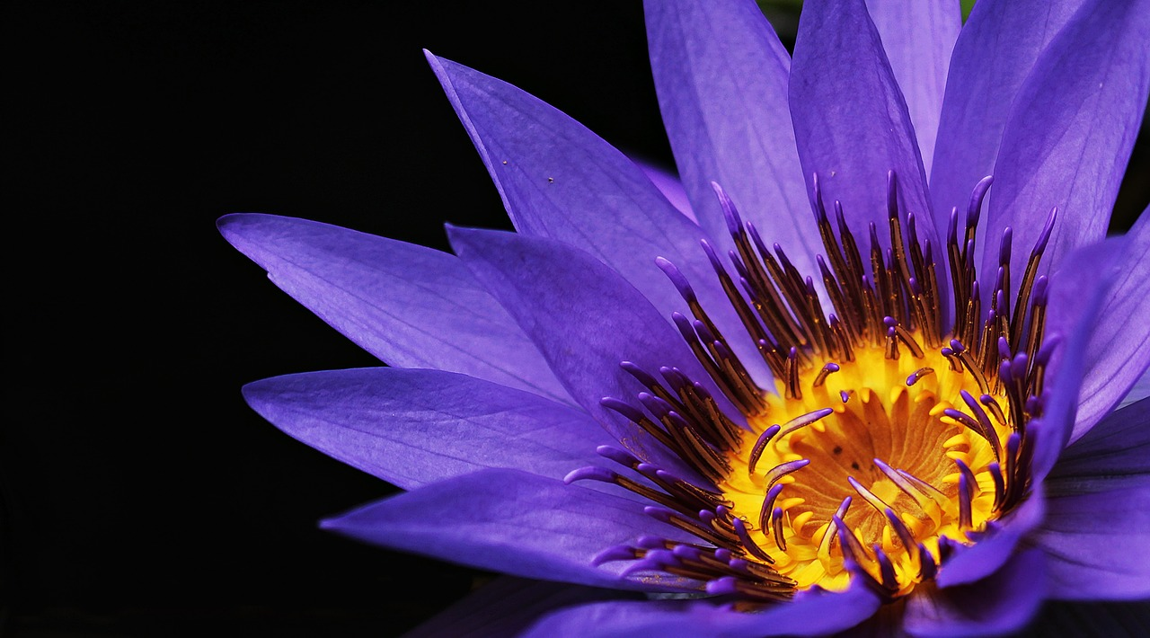 A bright purple flower with a black background.