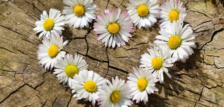 Daisies forming a heart shape.