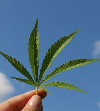 Photo of a hemp leaf.