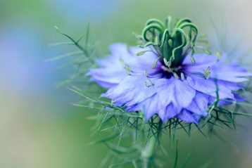 Nigella flower; one of the trends of Summer 2021.